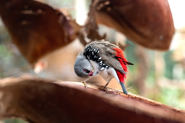 Diamond firetail или stagonopleura guttata маленькая красочная птичка чистит свои перья
