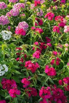 太陽の光と庭のナデシコbarbatusの花。閉じる。