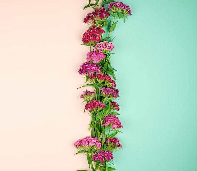 トルコのカーネーションdianthus barbatusが咲く