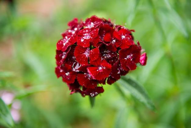 Dianthus chinensis(中国ピンク、甘いウィリアムの花) - 画像