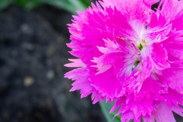 庭のピンクdianthus chinensisの花。