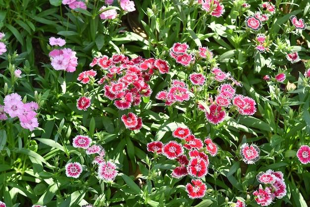 패 랭이 꽃 (dianthus chinensis) 개화 정원