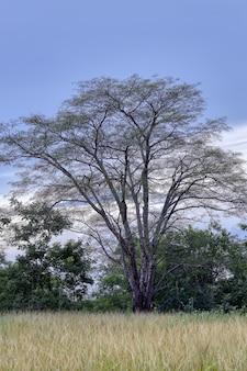 Двудольное дерево в поле ближе к вечеру