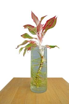 Die cut of beautiful aglaonema ornamental dark pink and green leaves in the water, focus selective.