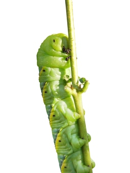 Вырезать крупный план гусеницы с зеленым червяком, пожирающим лист на белом фоне