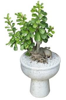 Adenium의 다이 컷은 흰색 시멘트 냄비에 뿌리를 보여주고 선택적으로 초점을 맞춥니다.