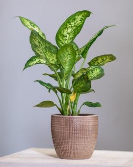 ディーフェンバッキアダム杖植物をクローズアップ