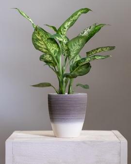 銀の鍋でディーフェンバッキアダム杖植物