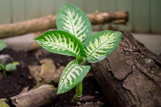 観葉植物の熱帯地方のdieffenbachiaexotica在来花