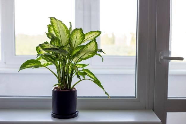 Диффенбахия в черном горшке стоит на подоконнике вертикальной ориентации комнатные растения