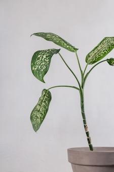 灰色の背景の鍋にディフェンバキア。ミニマルなインテリアの緑の葉。コピースペースのある背景