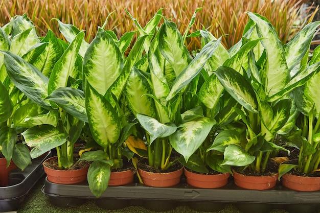 ディフェンバキアまたはポットの葦の花、さまざまな植物の膨大な選択。