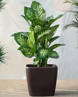 Dieffenbachia plant in the black pot