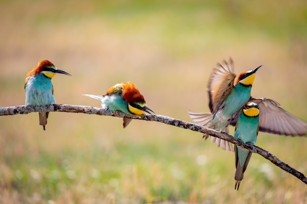 Different behaviors of bee-eaters on a branch