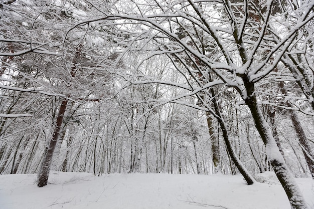Различные породы лиственных деревьев без листвы в зимний период, деревья, покрытые снегом после снегопадов и метелей в зимнее время года.