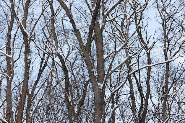冬季には葉のない落葉樹の品種、冬季には降雪後の雪や吹雪で覆われた樹木
