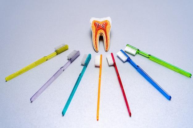 Вокруг обучающей модели зуба лежат разные красочные зубные щетки.