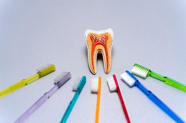 さまざまなカラフルな歯のブラシが教育用の歯のモデルの周りにあります。