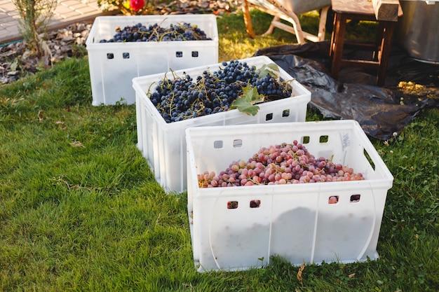 Различные сорта винограда для виноделия в ящиках во время сбора урожая. черное и розовое вино виноград