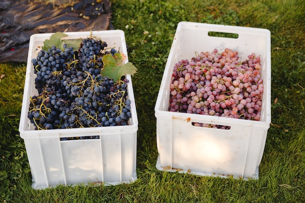 Different grape varieties for winemaking in boxes during harvest