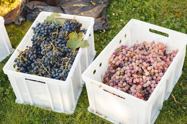 Different grape varieties for winemaking or sale in boxes during the harvest