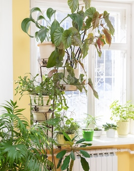 Different green potted house plants on flower stand near window and on windowsill at home in sunny winter day.