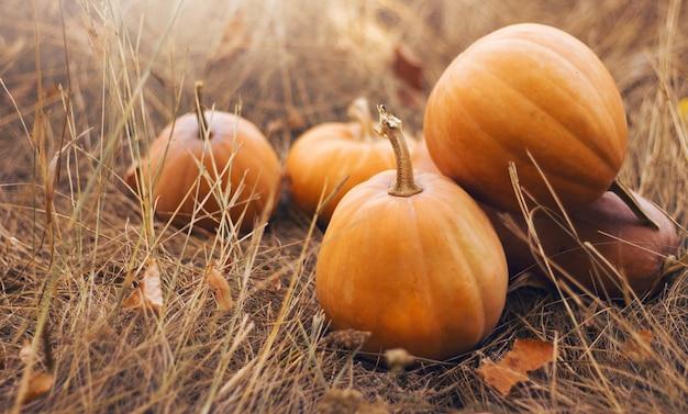 Тыквы различной формы оранжевые на высушенной траве.