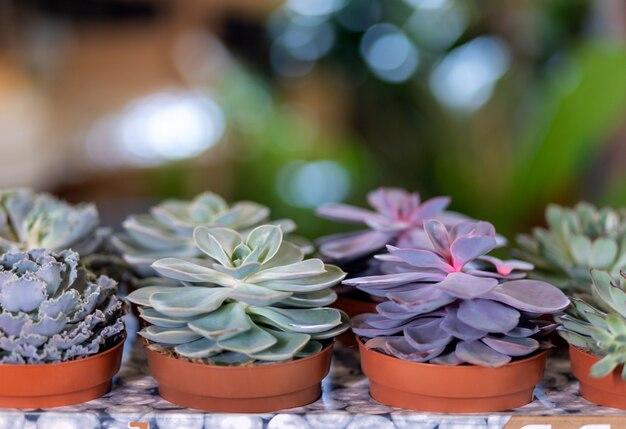 セラミックポットのさまざまな多肉植物