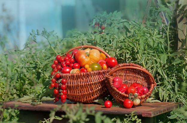 Различные помидоры в корзинах возле теплицы. сбор помидоров в теплице. концепция натурального продукта.