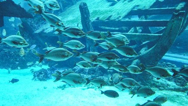 Different types of gray fish floating and swimming near a big wooden sunken ship