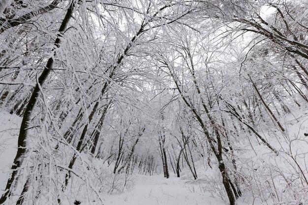 冬季には葉のないさまざまな種類の裸の落葉樹、冬季には降雪や吹雪の後に雪に覆われた裸木