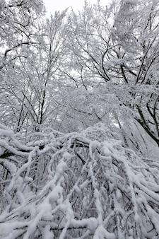 冬季には葉のないさまざまな種類の裸の落葉樹、冬季には降雪や吹雪の後に雪に覆われた裸の木