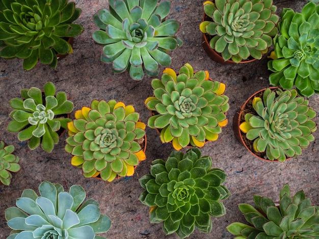 다른 유형의 식물 다육 식물. 다육 식물을 가진 많은 냄비 echeveriya