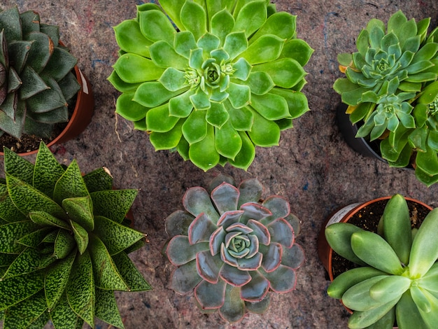 Different types of plants succulents. many pots with succulents echeveriya