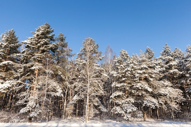 Different types of trees covered with  snow