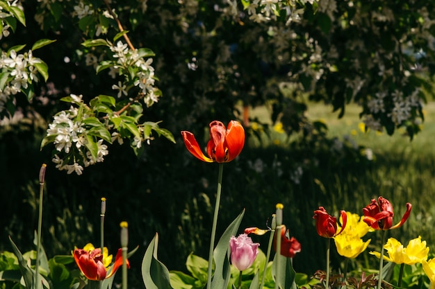Different types of tulips under the sprawling branches of a blooming apple tree.