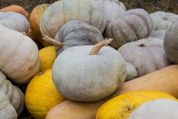 カボチャとカボチャのさまざまな種類。カラフルなハロウィン野菜。