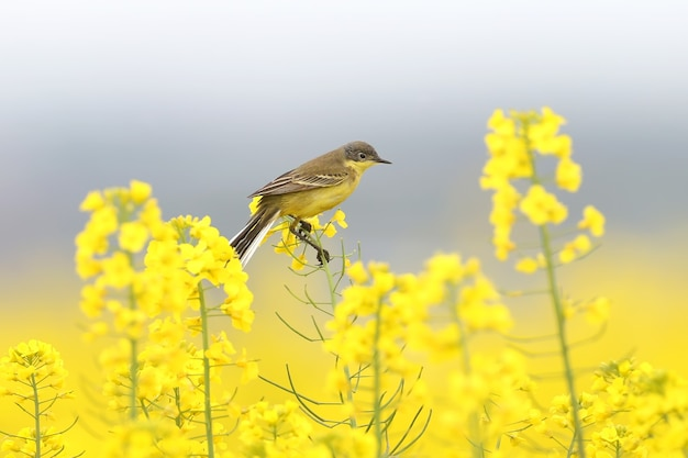 さまざまなセキレイが信じられないほど黄色い菜種の枝に座っています美しい写真