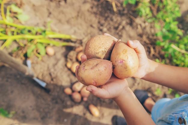 庭でジャガイモを掘る。セレクティブフォーカス。