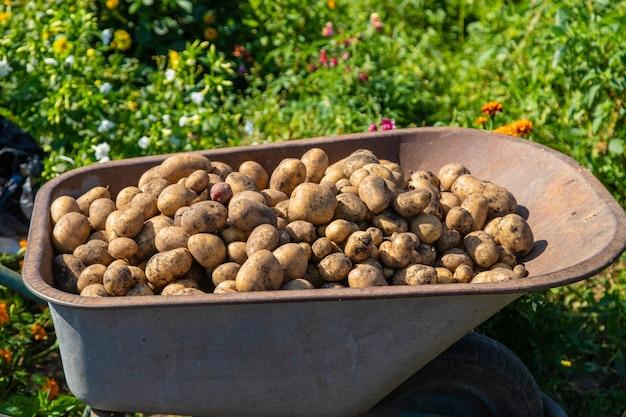 감자 파기. 농장에서 감자를 수확하십시오. 환경 친화적이며 천연 제품입니다. 선택적 초점입니다.