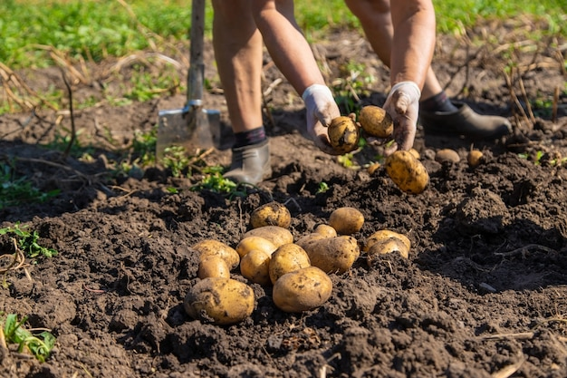 감자 파기. 농장에서 감자를 수확하십시오. 환경 친화적이며 천연 제품입니다.