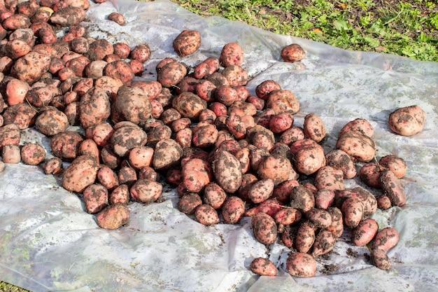 庭でジャガイモを掘る。収穫の時期、ジャガイモの植え付け。家族農家。季節の仕事