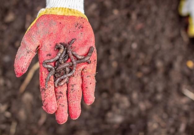 庭でジャガイモを掘る。手にワーム。収穫の時期、ジャガイモの植え付け。家族農家。季節の仕事。