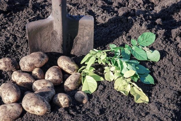 有機農場でジャガイモを掘る