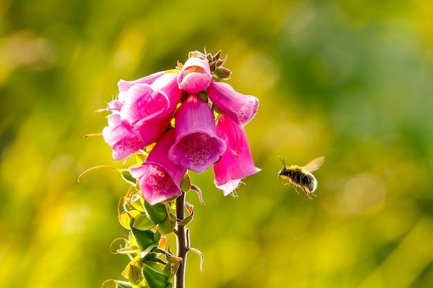Digitalis purpurea, 디기탈리스 또는 단물 꽃 옆에 꿀벌이 날아 다니는 꽃