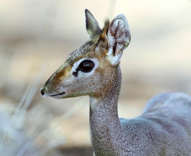 アフリカのサバンナにあるディクディクガゼル
