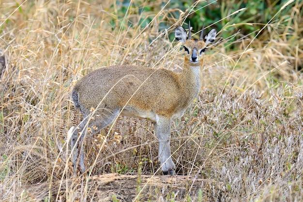 Дик-дик в национальном заповеднике африки, кения