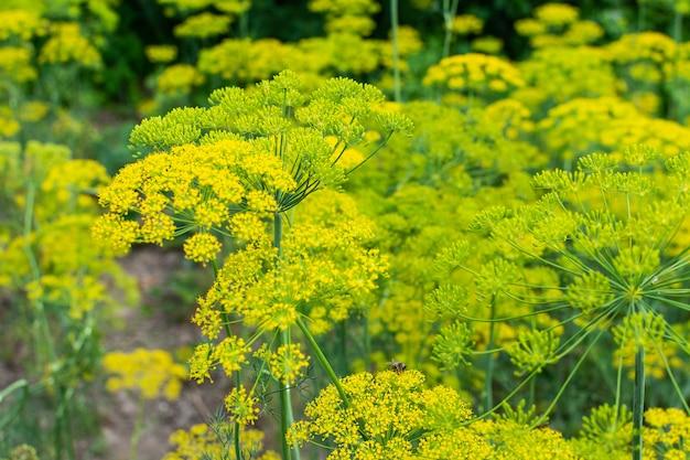 딜, 꽃이 만발한 정원 식물, 자연 배경