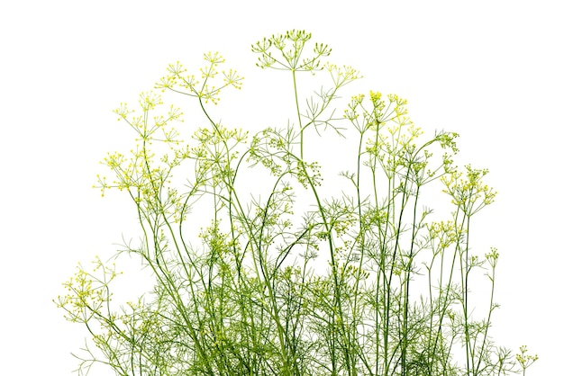 Dill  branch flowers isolated on white background.
