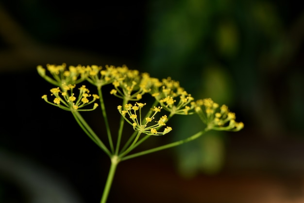 Dill  branch flowers on natural background.